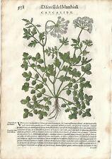 Stampa antica ERBARIO MATTIOLI MATTHIOLI CAUCALIDE botanica 1568 Antique print