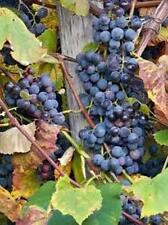 Purple concord grape vine hardy perennial, 10 plants