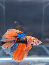 Live Betta Fish Male Halfmoon Candy Galaxy Orange Blue Black USA SELLER M1675