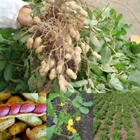 50Pcs Seeds Jumbo Virginia Peanut Origanic Non GMO Seeds Vegetable Garden Plant