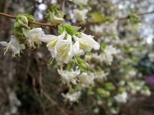 LONICERA  * WINTER BEAUTY  * 9CM POT  * FRAGRANT WINTER FLOWERS *