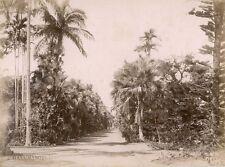 Botanical gardens near Port Louis, Mauritius. c 1890. Pierre Poivre.