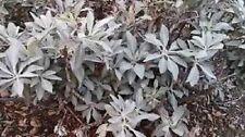 Organic White Sage Herb 50+ seed Perennial the sacred sage medicinal &  aromatic