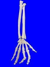 NEW Professional Life Size Human Hand and Forearm Skeleton Model, Anatomical UK