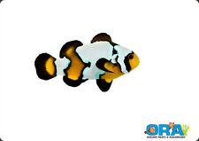 ''AQM'' ORA Aquacultured BLACK ICE ClownFish , Marine,Salt water,Live Corals