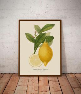 Citrus No.2 Botanical print - various sizes - Natural history