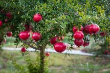 🌱JUICY POMEGRANATE SEEDS🌱FAST GROWING🌱HARDY VARIETY🌱UK SELLER🌱FAST P&P🌱