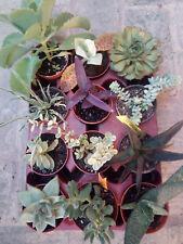Lote de 12 Plantas Suculentas de colección en 8'5 cms bandeja surtida