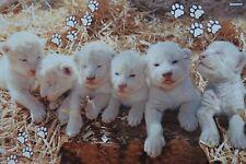 LÖWENBABY - A3 Poster (ca. 42 x 28 cm) - Löwe Baby Weiß Tier Plakat NEU