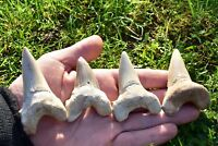 Large Shark Tooth Real Fossil [Otodus obliquus] 70 Million Years, Kids Gift XL