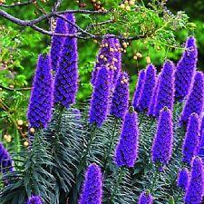 Pride of Madeira or Echium candicans(syn. fastuosum) x 10 seeds. Perennial shrub