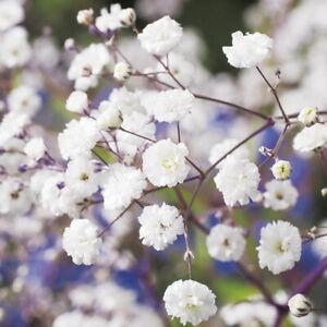 """🐝Schönes ,,Gypsophila Paniculata"""" Rispiges Schleierkraut Robust & Winterhart🐝"""