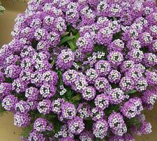 """Alyssum Violet Queen """"Lobularia Maritima"""" 200 Seeds"""