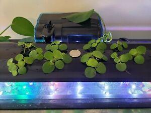 Amazon Frogbit Plant - 10 Pieces - USA - WV - No Snails
