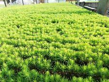 80 Norway Spruce seeds