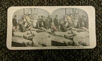 Stereoview antique photo: Shipping Green Sea Turtles, Key West, FL