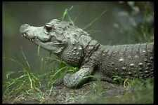 416013 Zwerg Krokodil osteolaemus tetraspis A4 Fotoprint