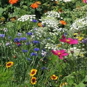 DROUGHT RESISTANT Wildflower Mix 25 Species Dry Area Flowers Non-GMO 500+ Seeds