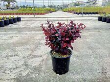 Berberis Atropurpurea vaso 17 (OFFERTA 25 piante)
