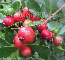 Erdbeer-Guave 5 Samen leckere Früchte exotische Kübelpflanze Obst Frucht