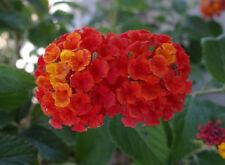 Lantana camara, 50 Seeds mixed colors.