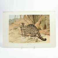 Wild Cat natural history print antique lithograph 19th century colour