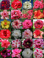 Adenium Obesum identified by color 1,100 Seeds 24 Types!