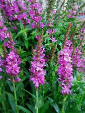 Blutweiderich Lythrum virgatum 'Swirl' Bienenweide Sommerblüher