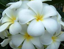 Plumeria Seeds/Flowers/Snowwhite/Fresh 26 seeds