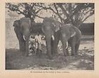 Tempelelefanten in Trichur Süd-Indien - Alter Druck 1910 Bild Antique Print