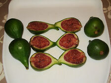 DESERT KING FIG TREE  X 1 LARGE SWEET FRUIT, GROW YOUR OWN TASTY FIG