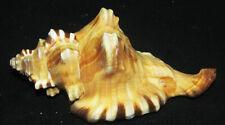 129 mm HUGE Cymatium Perryi Triton Seashell Sea Shell GREAT PATTERN # UNCOMMON #