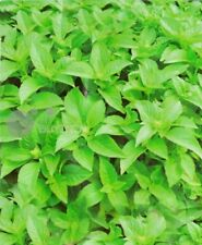Sweet basil Herb seed 50 seeds Oclmun Gralissimum spice vegetable balcony