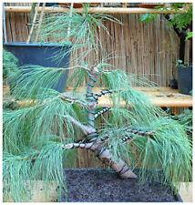 50 semi di Pino excelsa, Pinus wallichiana,Pino del Bhutan, semi bonsai