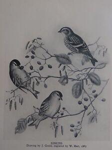 British Birds SISKINS from 1867 Illustration by John Gould 1940's Print