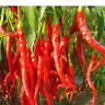 Chili Paprika Samen Saatgut Pflanze Sämereien  20 Stück Rot Cayennepfeffer U2H5