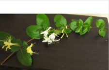 5 Fresh Cuttings Lonicera Japonica Honeysuckle Vine Plants - Fragrant / Med Uses