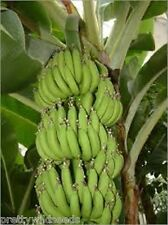 20 X MUSA ACUMINATA  EDIBILE Banana Plant Tropical Seeds  HARDY