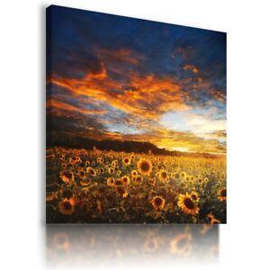 SUNFLOWERS YELLOW SUMMER SUNSET FIELDS Canvas Wall Art Picture F37  MATAGA