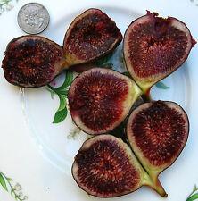 New listing Read Listing - Live Plant Galicia Negra Fig Tree Gallon - Read Listing
