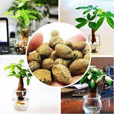 1PCS Pachira Macrocarpa Tree Seeds Flower Decor Plant Bonsai House Garden Money