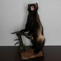 WOLVERINE TAXIDERMY MOUNT - MOUNTED, STUFFED ANIMALS FOR SALE - ST5083
