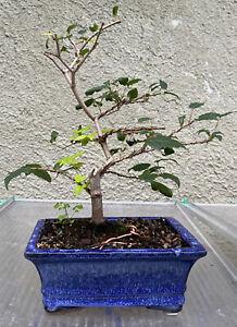 Shohin Trident maple bonaai tree in blue glazed ceramic  pot
