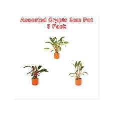 Live Aquarium Aquatic Fish Cryptocoryne Plant Assorted Crypt 3cm Pot 3 Pack