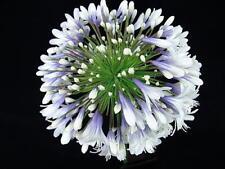 Agapanthus Queen Mum  bicolour flower garden perennial plant