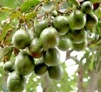 1 Tree in 2 Gallon Pot 2-4/' Tall Mandarin Jewel Kousa Dogwood