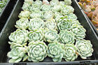 WEDDING succulent Echeveria elegans #2 - elegant rosette 60 CUTTINGS - 6 cm