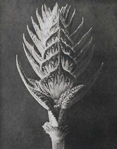 1942 ORIGINAL PRINT PHOTO GRAVURE plate 56 KARL BLOSSFELDT ABSTRACT BOTANICAL