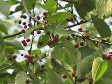 4 graines CERISIER DES OISEAUX(Prunus Avium)BONSAÏ G482 SEEDS SAMEN SEMILLA SEMI
