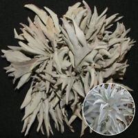 200Pcs California White Sage Seeds Sacred Salvia Apiana Ceremonial Aromatics EP